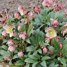 Load image into Gallery viewer, HELLEBORE LOVE BUG QT.