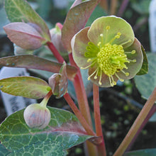 Load image into Gallery viewer, HELLEBORE PINK MARBLE QT.