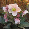 HELLEBORE SHOOTING STAR 1G