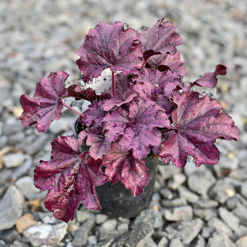 HEUCHERA FOREVER PURPLE QT.