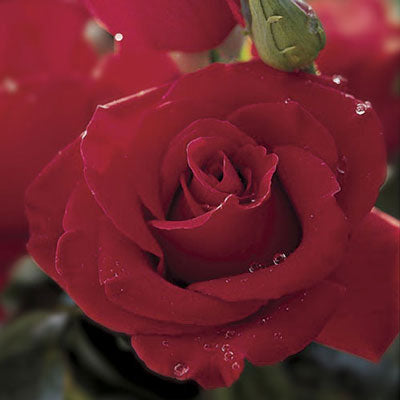 Hybrid Tea | Veterans Honor