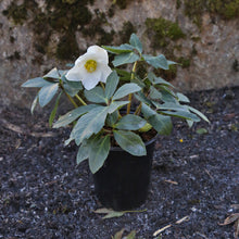 Load image into Gallery viewer, HELLEBORE JESKO QT.