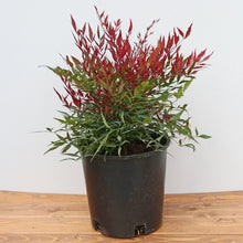 Load image into Gallery viewer, NANDINA BURGUNDY WINE 2G