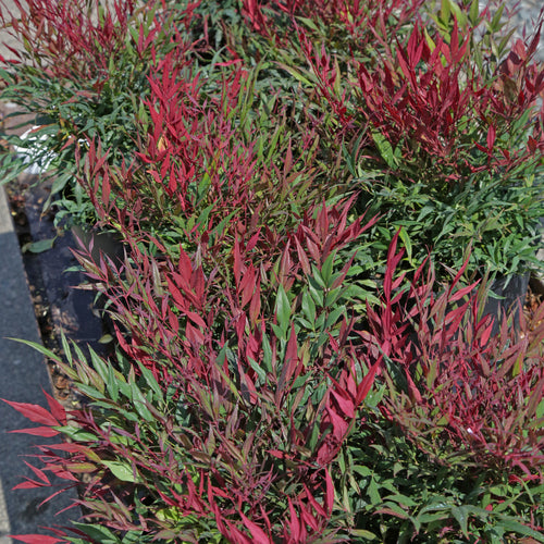 Nandina 'Burgundy Wine'