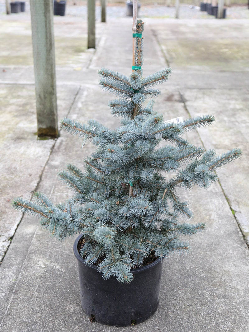 Picea p Avatar ( Colorado Blue Spruce)