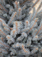 Picea p Fat Albert (Colorado Blue Spruce)