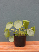 Pilea 'Chinese Money Plant'