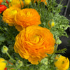 RANUNCULUS MACHÉ YELLOW