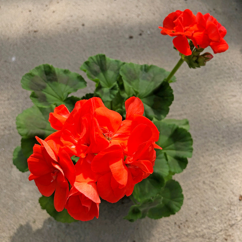 Geranium | Rocky Mountain™ Orange
