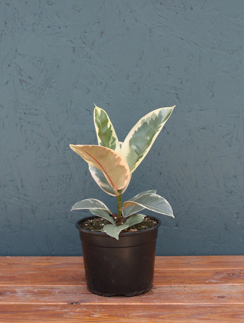 Ficus Rubber Plant 'Tineke'