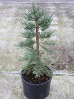 Sequoiadendron g Glauca (Giant Redwood) 6g
