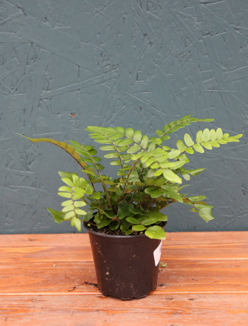 Fern 'Sickle' 4""