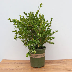 BOXWOOD WINTER GEM