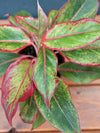 Chinese Evergreen Siam 4""