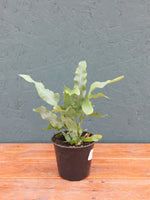 Phlebodium Blue Star Fern 4""
