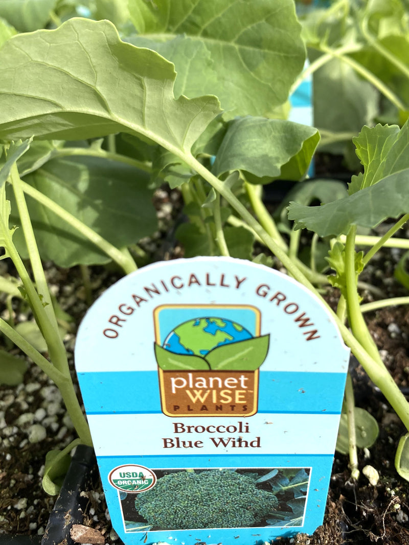 Organic Broccoli Blue Wind Jumbo 6 Pack