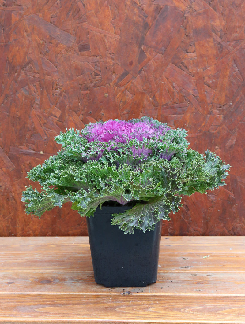 Ornamental Kale Pink 1G