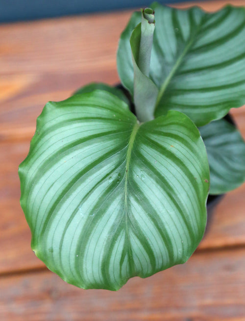 Calathea 'Orbifolia' 4in