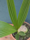Coconut Palm 10""