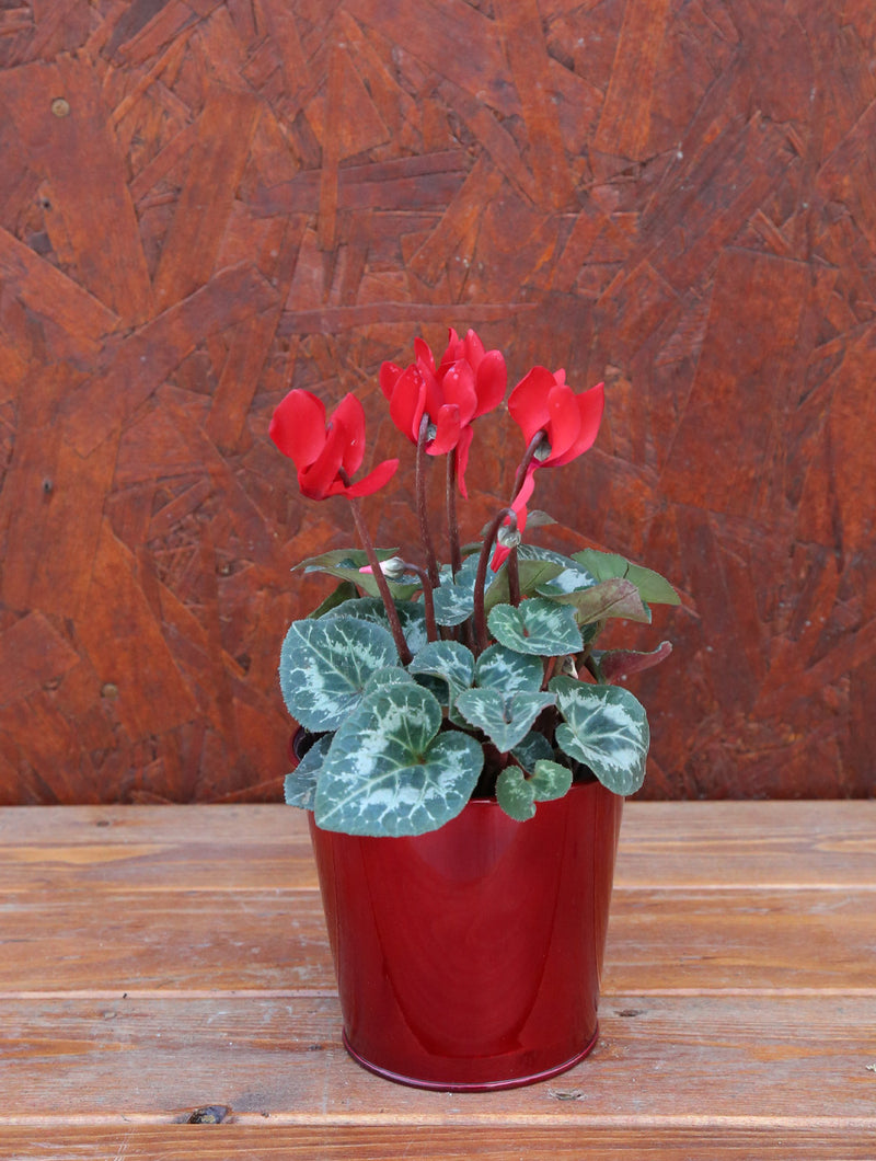 Cyclamen Red Tin 4""