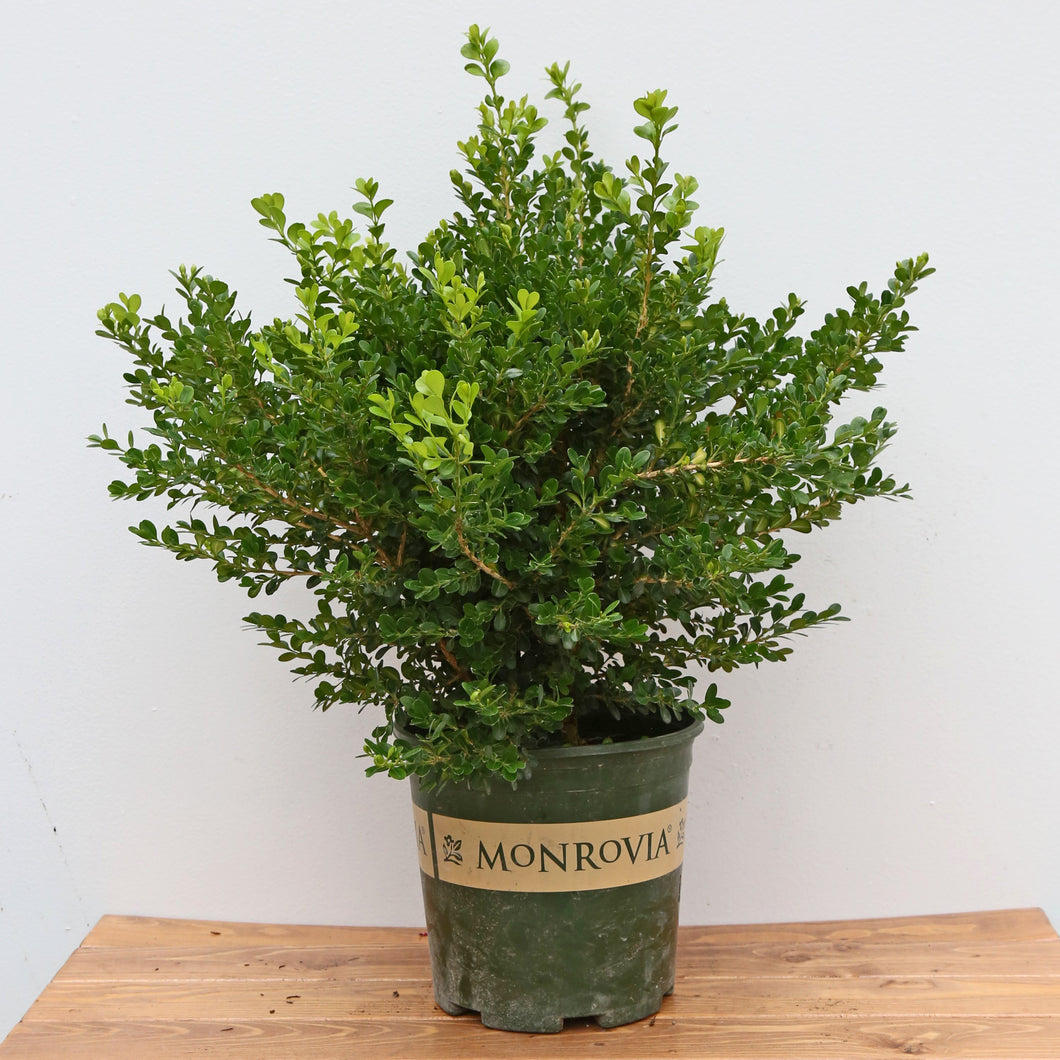 BOXWOOD GREEN BEAUTY