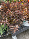 Weigela 'Spilled Wine' 2G