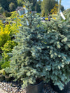 Picea p Baby Blue (Colorado Blue Spruce)