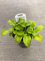 Hosta Sun Mouse Qt.