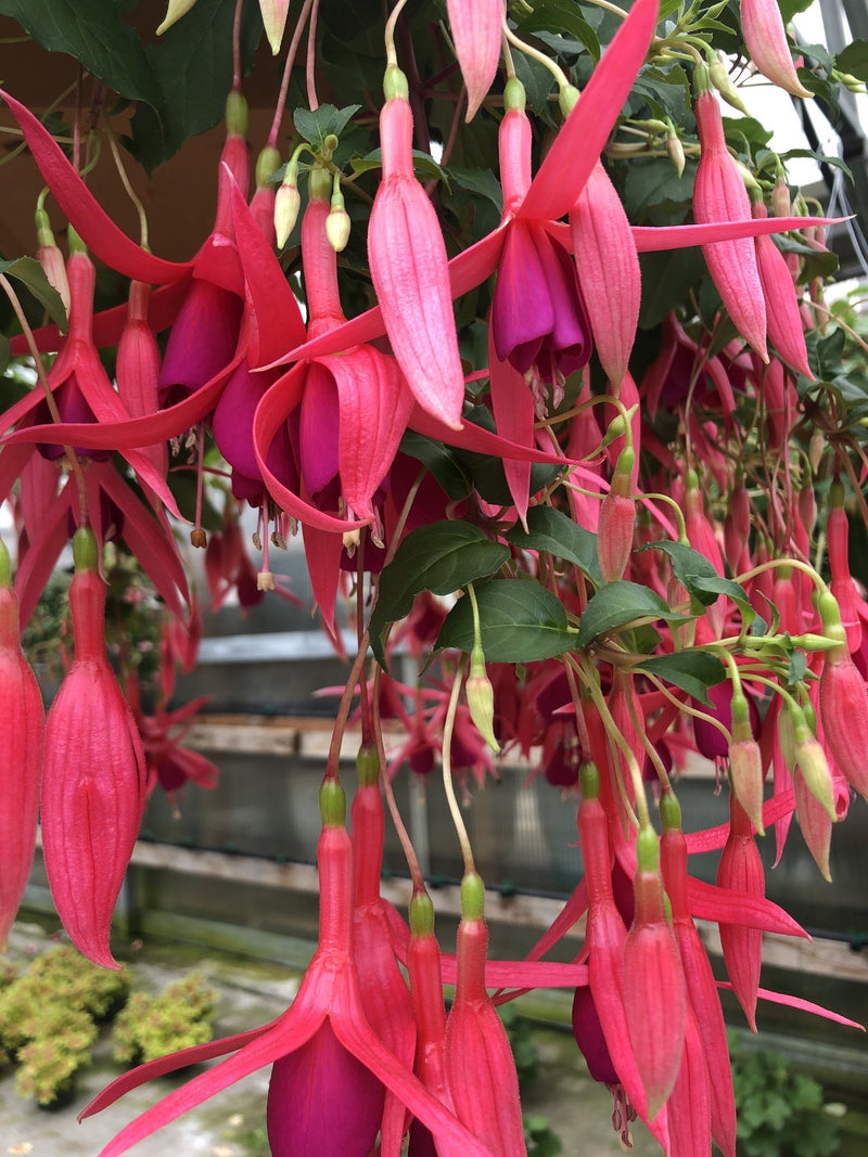 Fuchsia Basket Red Spider
