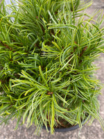 White Pine 'Green Twist' 2G