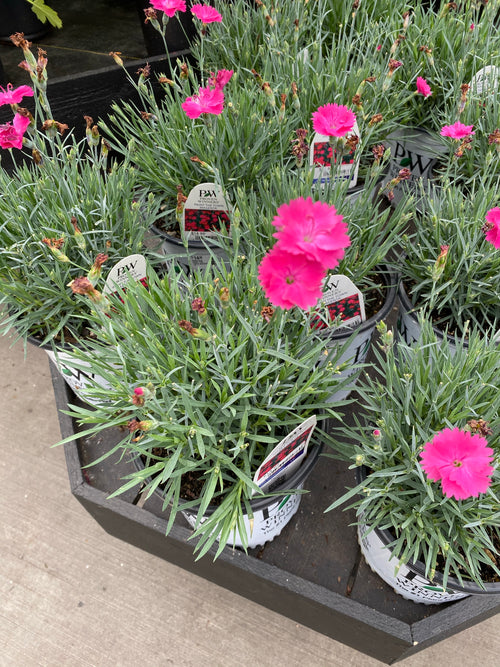 Dianthus 'Paint the Town Magenta' Qt.