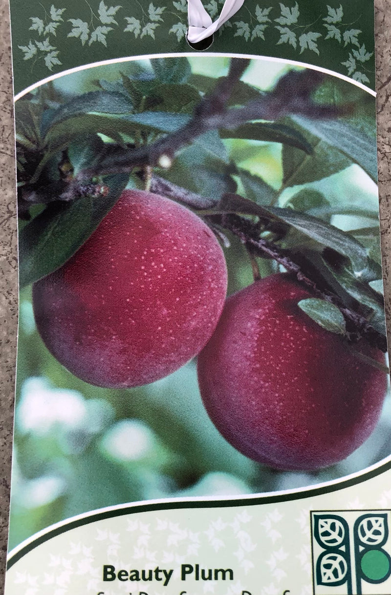 Plum (Japanese) Beauty