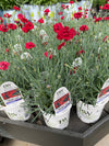 Dianthus Fruit Punch® 'Maraschino' Qt.