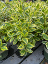 Weigela Mor-Colorful™ 2G