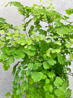 Maidenhair Fern 4""