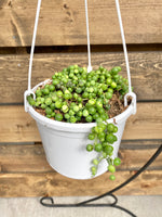 Hanging Basket | Senecio String of Pearls 6""