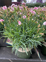 Dianthus Scent First™ Raspberry Surprise 1G