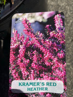 Erica 'Kraemers Red'