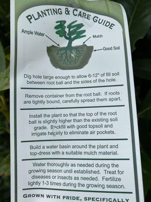 Dwarf English Laurel