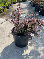 Barberry 'Rose Glow' 5G