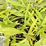 Sweet Potato Vine Illusion® Emerald Lace