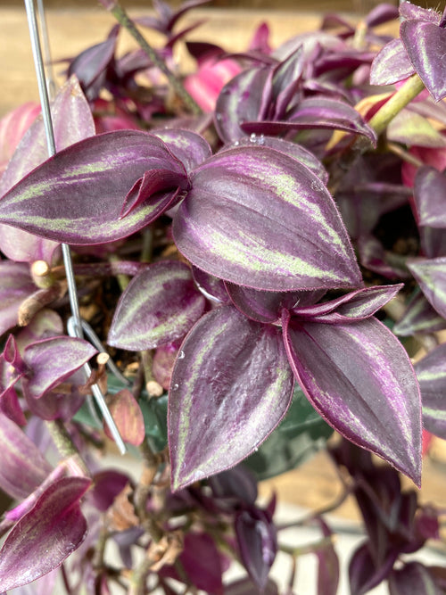 Hanging Basket | Wandering Jew 6""