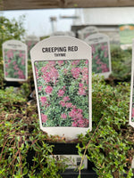 Creeping Red Thyme 4""