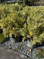 Euonymus 'Silver King'