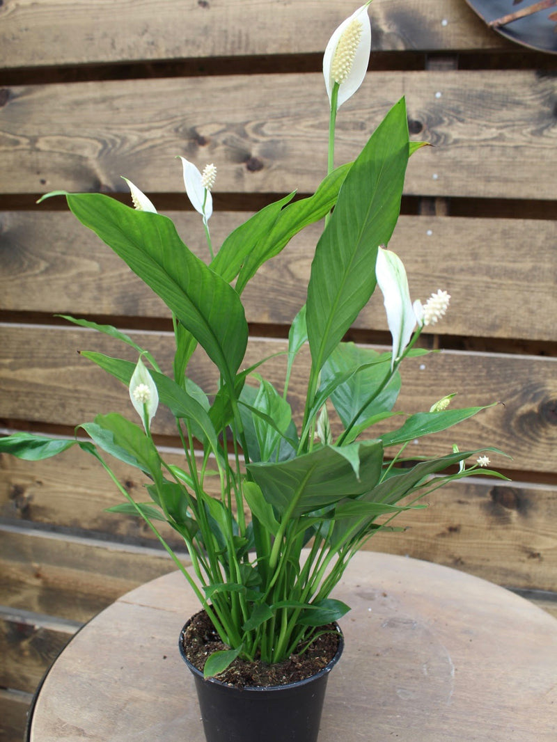 Spathiphyllum 'Peace Lilly'