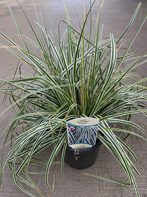 Carex Evercolor® 'Everest'