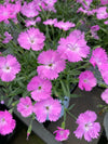 Dianthus 'Paint the Town Fuchsia'