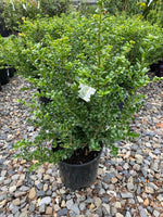 Japanese Holly 'Northern Beauty' 2G
