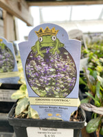 Carpet Bugle 'Silver Queen' 4""