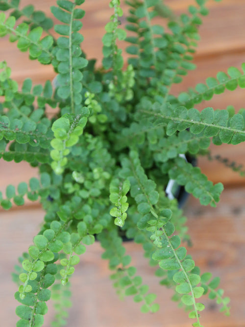 Lemon Button Fern 4""